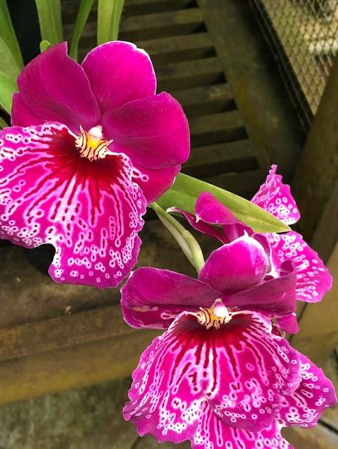 Orchid - Golden Gate Park