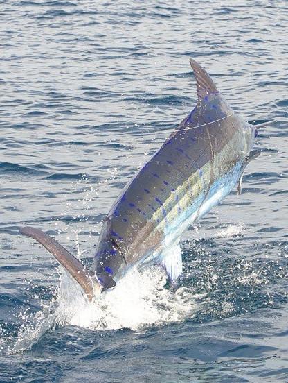 Marlin Madness 2015