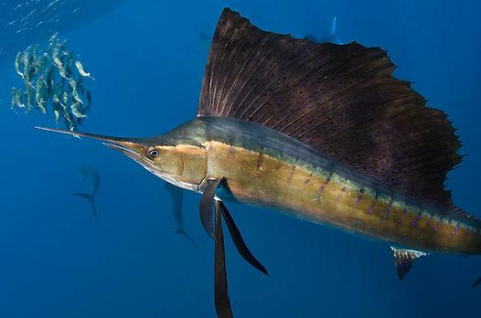 Sailfish Underwater