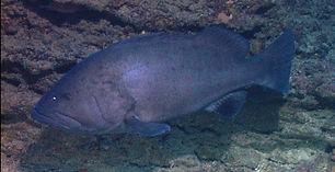 warsaw grouper Underwater
