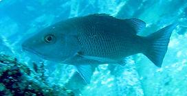mangrove snapper Underwater