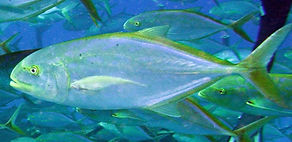 yellow jack Underwater