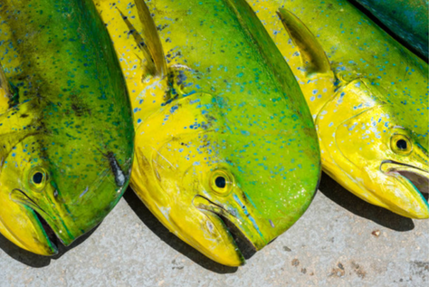 Dolphinfish Migration in the Caribbean