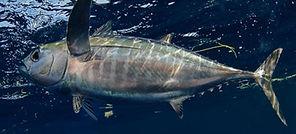 blackfin tuna Underwater