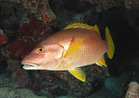 schoolmaster Underwater