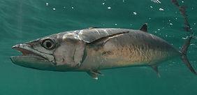 kingfish Underwater