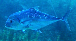 african pompano Underwater