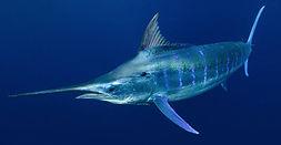Blue Marlin Underwater