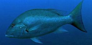 mutton snapper Underwater