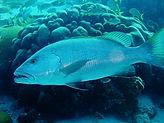 cubera snapper Underwater