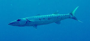 Barracuda Underwater