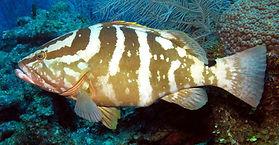 nassau grouper Underwater