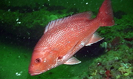 red snapper Underwater