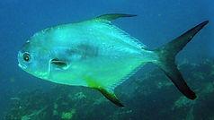pompano Underwater