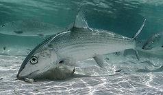 Bonefish Underwater