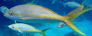 yellowtail snapper Underwater