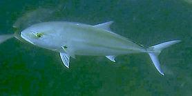 amberjack Underwater
