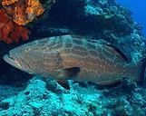 Black Grouper Underwater