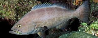 Yellowmouth Grouper Underwater