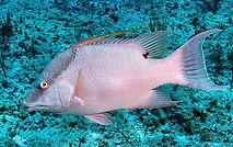 hogfish Underwater
