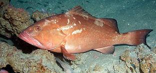 red grouper Underwater