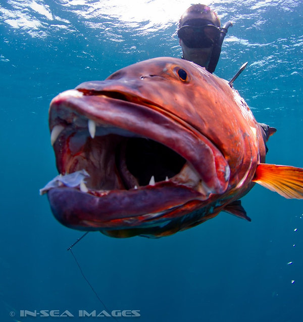 Cubera Snapper Spearfishing