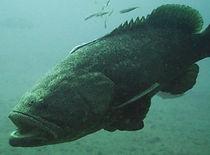 Jewfish Underwater