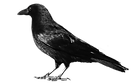 transparent-crow-deviantart-5.png