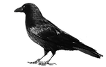 transparent-crow-deviantart-5.png