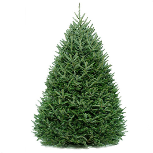 Premium Fresh Cut Fraser Fir