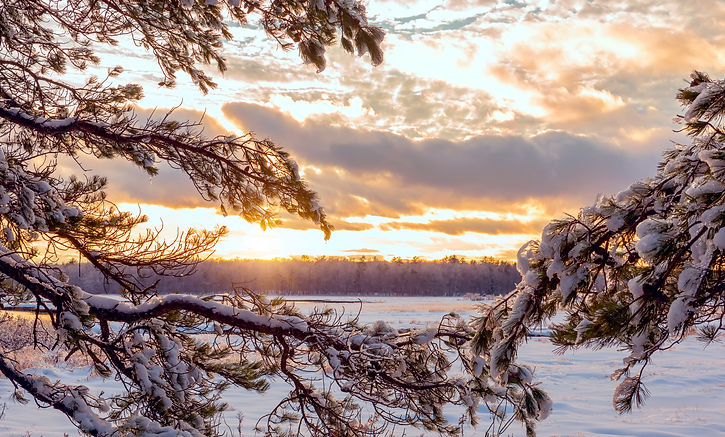 Winter landscape. Pine branches covered