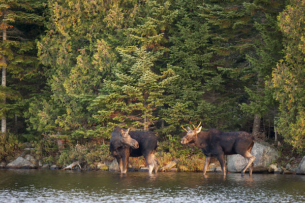 A cow and young bull moose on the shore