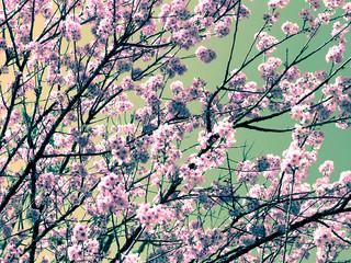 Cerejeira vertical