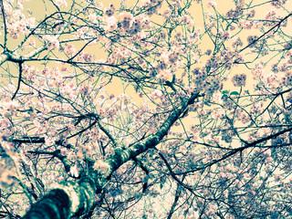 Cerejeira árvore