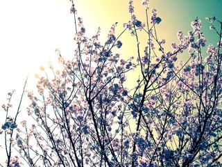 Cerejeira brilho