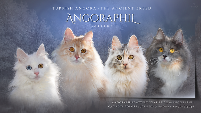 angoraphilcattery_ad.png
