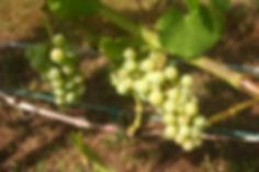 müller-thurgau