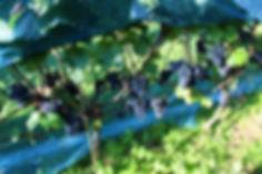 Spätburgunder - late pinot noir