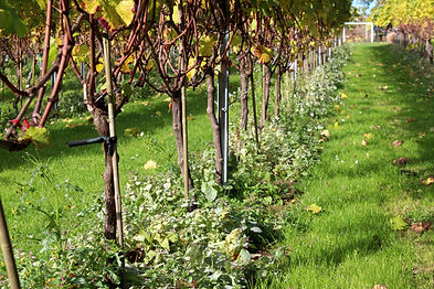 Ondergroei om de groei te remmen op Domein Pot de Vin