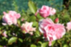 rozen langs de wijngaard Domein Pot de Vin