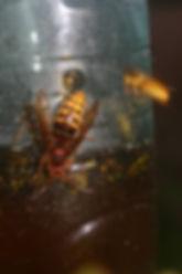 Hoornaar en wespenval