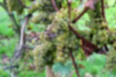 Lichte aantasting botrytis chardonnay