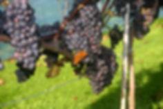 Vlinder en pinot noir