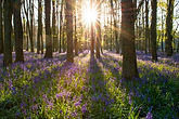 Bluebells in woodland.jpg