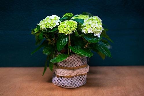 Hortensia blanca + cesto