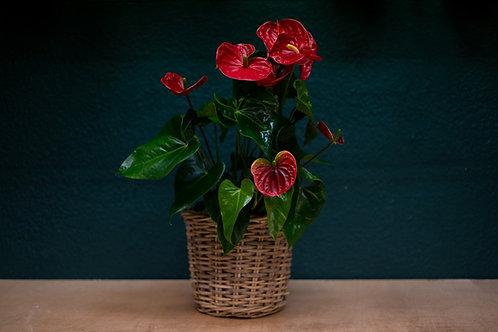 Planta de Anturium + cesto