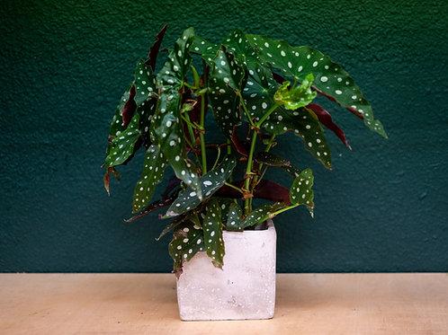 Planta con base