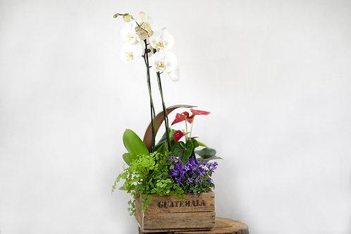 Orquidea con plantas en Caja