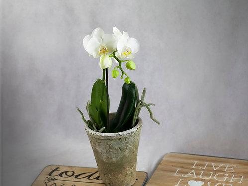 Orquídea pequeña