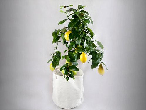 Planta de Limonero